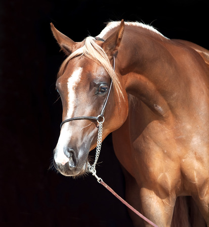 filly: portrait of young arabian filly at black background