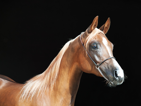 filly: portrait of young arabian filly at black