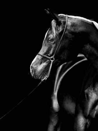 portrait of young arabian filly at black