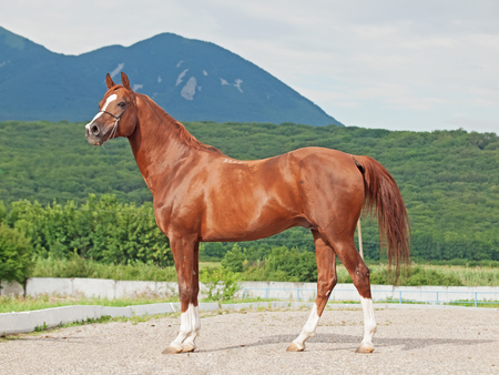 exterior of arabian chestnut  stallion at the mountain