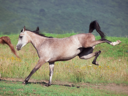 filly: arabian filly in motion. sunny day Stock Photo