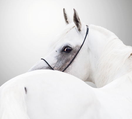 white beautiful arabian stallion against white background Stock Photo
