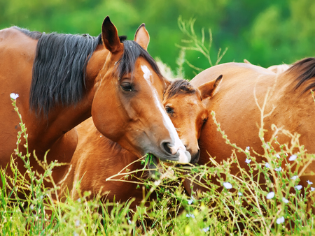 herbal knowledge: arabian mares at the pasture with foal Stock Photo