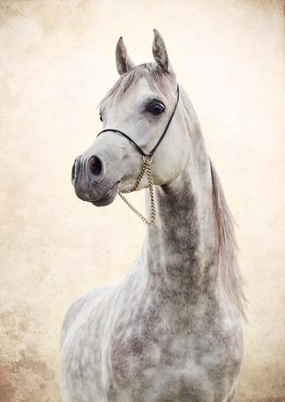 portrait of gray beautiful arabian stallion at art background Standard-Bild