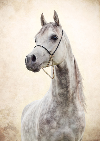portrait of gray beautiful arabian stallion at art background Stock Photo
