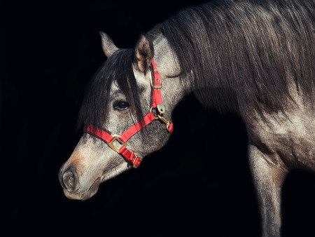 filly: portrait of young arabian filly isolated at black