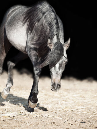 filly: running young arabian filly isolated  at black Stock Photo