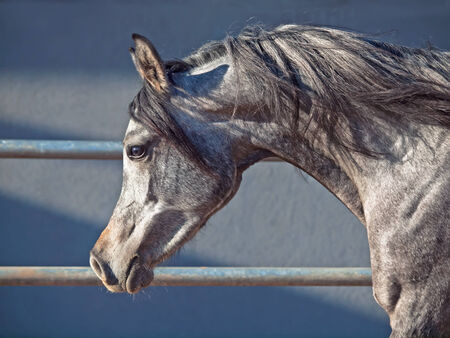 filly: portrait of young arabian filly in movement