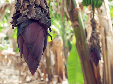 Banana plant with fruits growing in nature photo