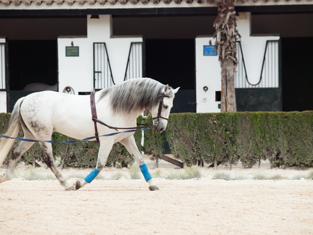 Longeing white horse. Andalisia, Spain