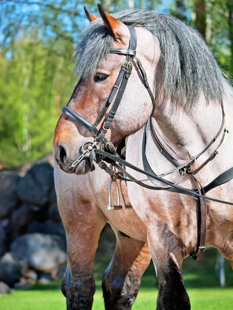 Portrait of Belgian draught horse  photo