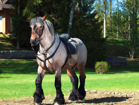 A full body shot of a Belgian draught horse
