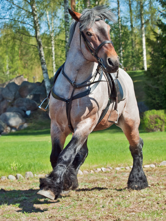 running Belgian draught horse  photo