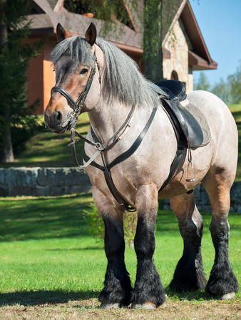 full body shot of a Belgian draught horse