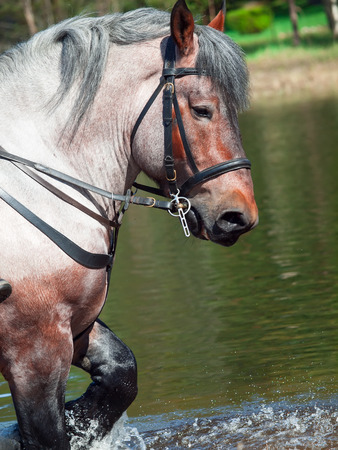 Portrait of Belgian draught horse in lake. photo