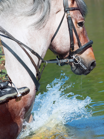 belgian horse: Portrait of Belgian draught horse in lake. close up