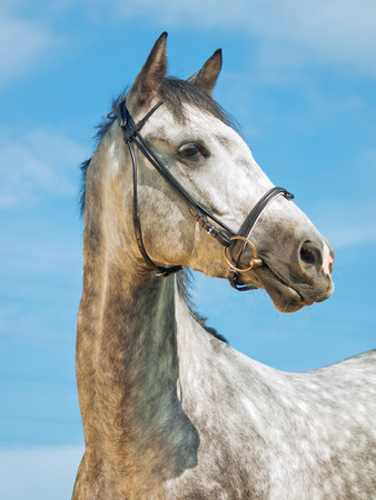 portrait of grey horse in bridle at blue sky background photo