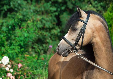 buckskin horse: Portrait of beautiful buckskin welsh pony