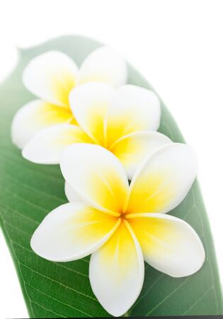 fragrant scents: Plumeria or frangipani, at white background Stock Photo