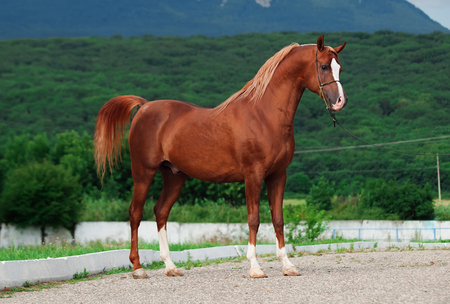 equine: exterior of arabian chestnut  stallion at the mountain background. Stock Photo