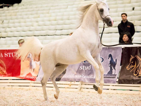 12 class: SAINT-PETERSBUGR- APREL 30: Saint-Petersburg International Cup ECAHO International C-Show. class 12 - 1 place- stallion Girlan-Bay Editorial