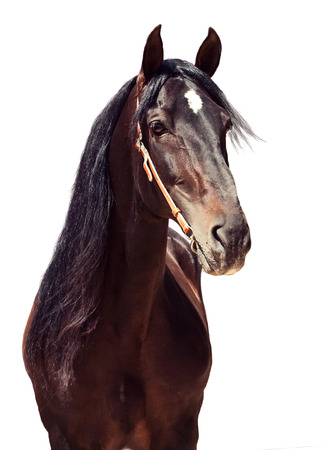 horse andalusian horses: beautiful purebred Andalusian stallion at flowers background, sunny day. Spain Stock Photo
