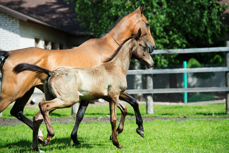 running purebred akhalteke dam with foal in the paddock Stock Photo