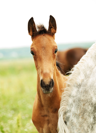 trotter foal in the meadow