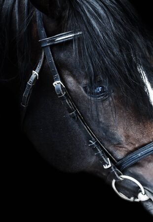 trakehner: Portrait of beautiful breed sportive stallion at black background. close up
