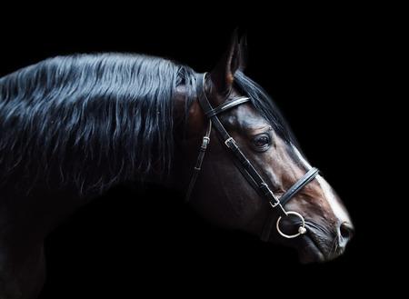 trakehner: Portrait of beautiful breed sportive stallion at black background