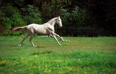 running creamello purebred akhalteke stallion in paddock