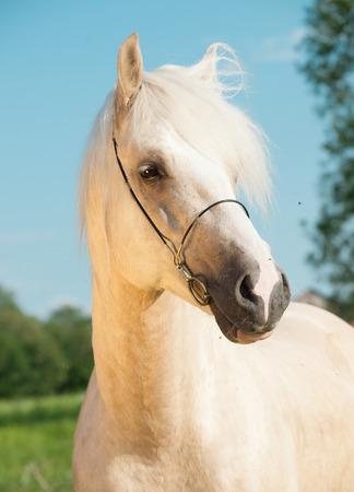 palomino: portrait of palomino welsh cob Stock Photo