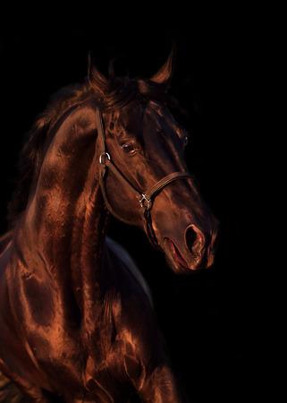 emotion portrait of beautiful black breed stallion in field Stock Photo