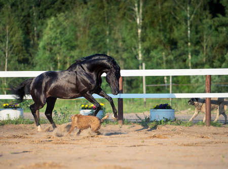 warmblood: playing black stallion with dogs in paddock Stock Photo