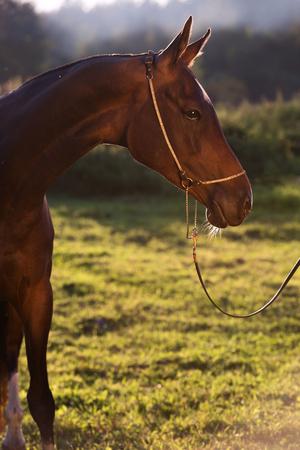 mare: portrait of bay purebred akhalteke mare