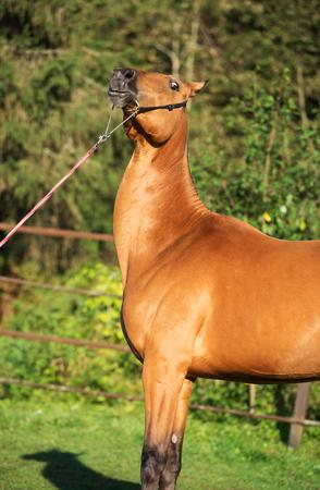 yegua: retrato de la yegua de pura raza akhalteke