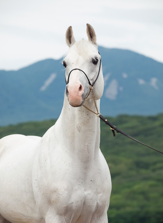 portrait of white arabian stallion at mountain background