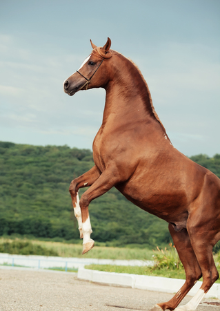 rearing: arabian chestnut stallion rearing.