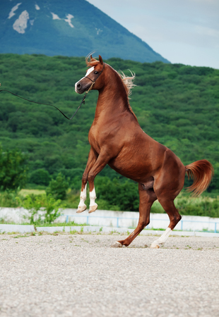 rearing: arabian chestnut stallion rearing. at mountain background Stock Photo