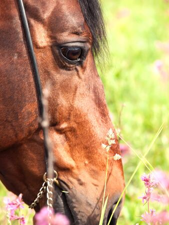 portrait of grazing bay horse. close up Stock Photo