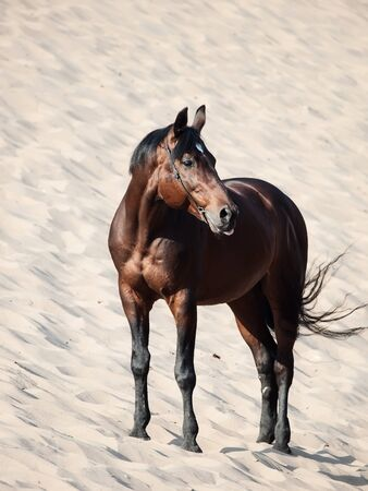 Beautiful breed horse in the dunes