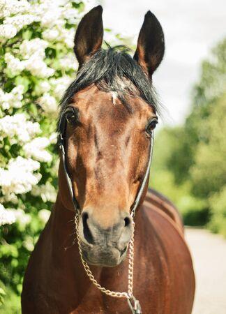 portrait of bay horse at blossom bush background Stock Photo