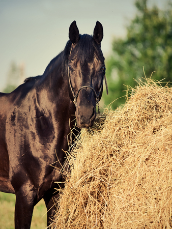 portrait of black sportive horse near haystack Stock Photo