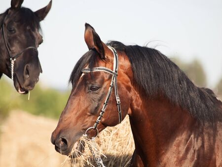 portrait of bay and black stallions