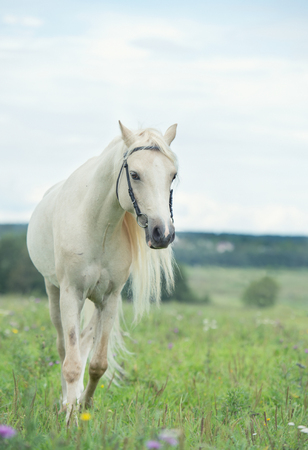 beautiful cream pony stallion wilking in the field. cloudy day