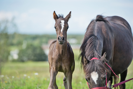 pony foal with mom  in the meadow  Stock Photo
