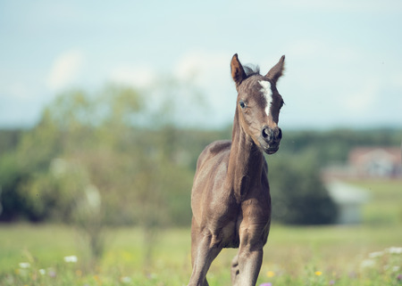 active  pony foal with mom  in the meadow