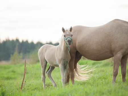 welsh  pony  foal with mom. cloudy evening