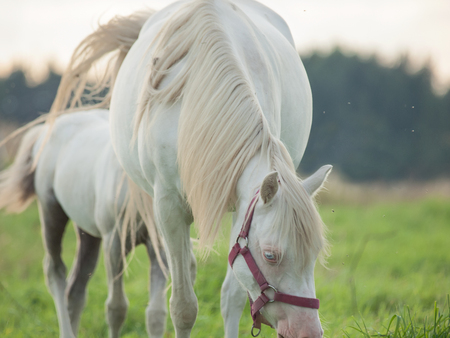 cremello  welsh  pony  mare with her foal Stock Photo