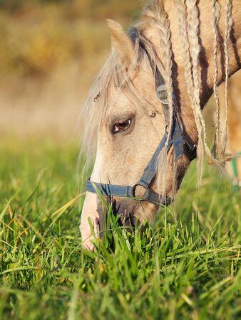 portrait of grazing welsh  pony. close up